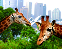 3-Day Sydney Harbour Hop-On Hop-Off Cruise Pass Including Taronga Zoo Entry Photos