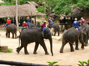 Chiang Mai Elephants at Work Tour Photos