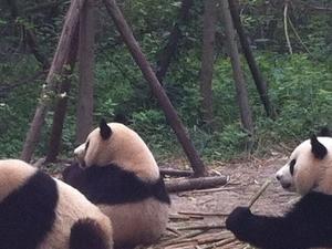 Half-Day Chengdu Panda Breeding Center Tour with Optional Baby Panda Holding Photos
