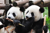 Private Tour: Chengdu Sightseeing with Panda Breeding Center Visit Photos