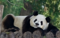 Private Tour of China's National Treasures: Giant Pandas and Terracotta Warriors in Xi'an Photos