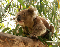 Private Tour: Phillip Island, Penguin Parade and Koala Conservation Centre from Melbourne Photos