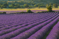 Private Tour: Provence Lavender Fields and Aix-en-Provence Day Trip from Marseille Photos