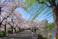 Tokyo Cherry Blossom Walking Tour in Asakusa Photos