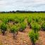 Vineyards At Chateauneuf-du-Pape - Avignon